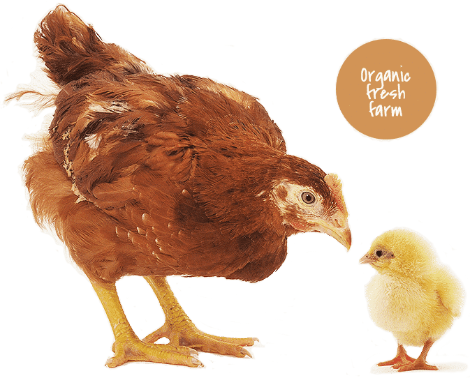 Chicken In Agribusiness in Ghana